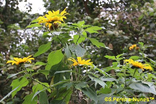 Girassol-mexicano, Mexican sunflower, Botón-de-oro, Forest Hills, Jandira, Brazil