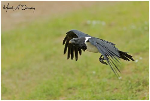 The Crow's Flight!