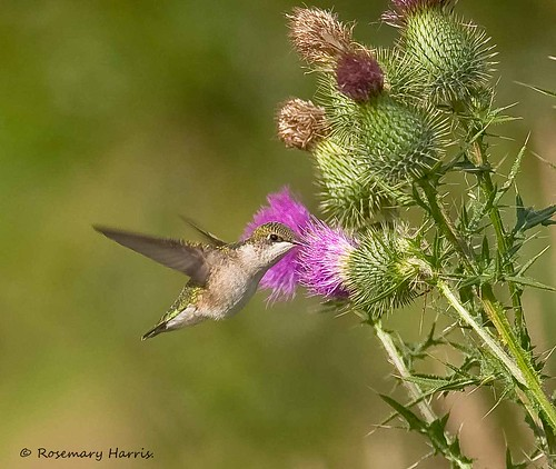 Ruby-throated Hummingbird on Wild Thistle.