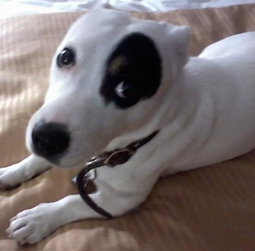 SIGHTING jack russel type dog in #14AveNE #Marlborough tag said RINGO. Call 311 ASAP if sighted. DO NOT CHASE. Plz Rt, watch, share help RINGO get home. *PICTURE IS NOT ACTUAL DOG* YYC Pet Recovery shared a post. Sighting of a small white short hair Jack