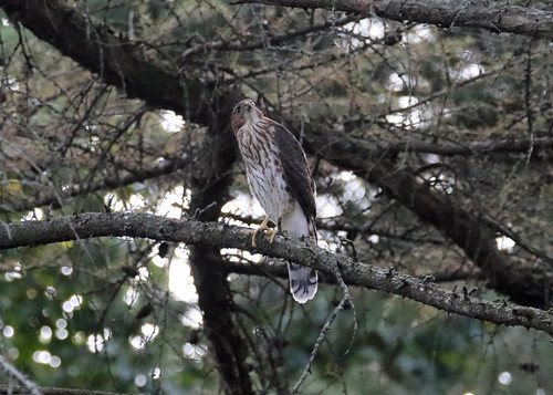 Cooper's Hawk on the lookout