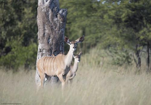 Greater Kudu, Tragelaphus strepsiceros, Hwange National Park, Zimbabwe