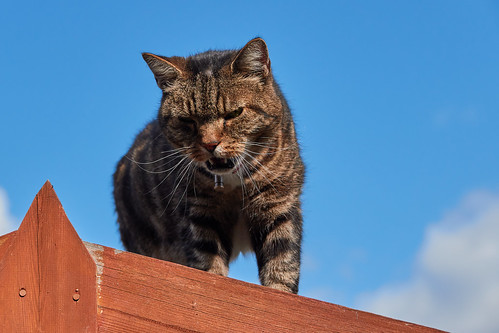 King Cat Of The Shed