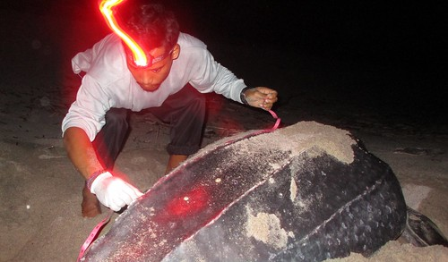 Night patrol & leatherback measuring