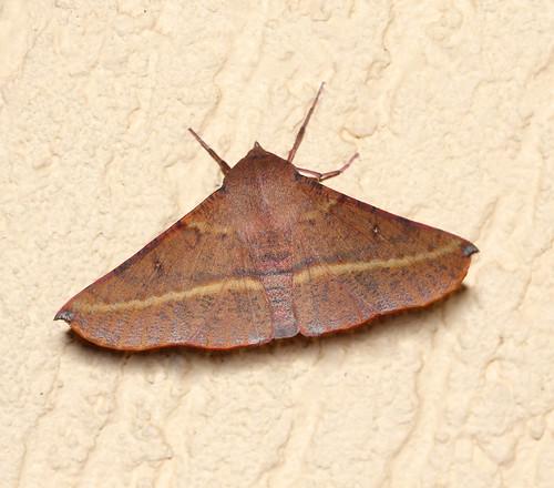 Pink-bellied moth