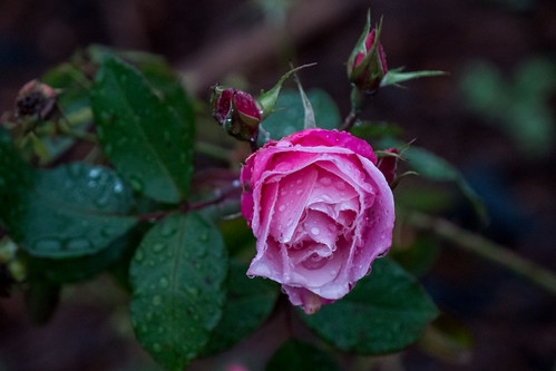 A Pink Rose Covered with Dews - Walking after Rain, Oakland, California, USA