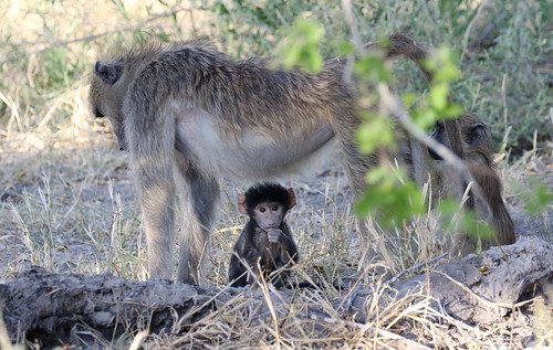 Young Chacma Baboon baby sitting underneath its mother