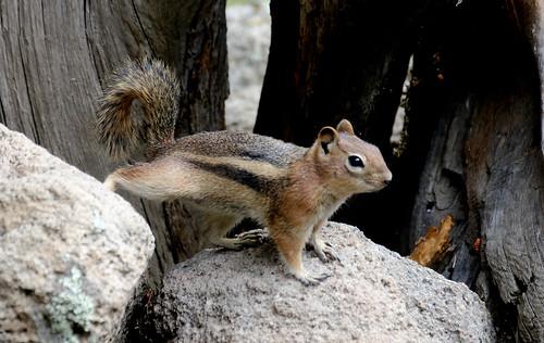 Golden-mantled Ground Squirrel (Spermophilus lateralis); Santa Fe National Forest, NM, Thompson Ridge [Lou Feltz]