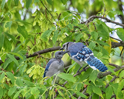 Blue jay with young.