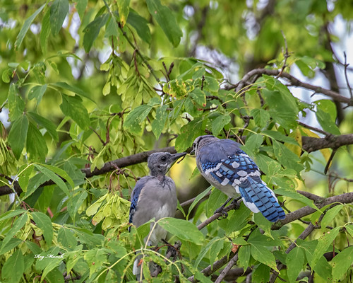 Blue jay with young-2