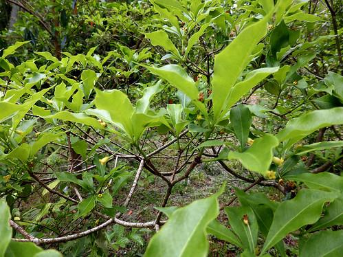 Pittosporum illicioides Makino 1900 (PITTOSPORACEAE).