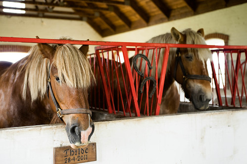 Horses sticking their heads out of their cages