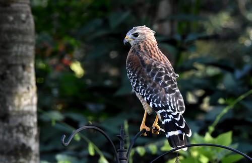 Red-shouldered hawk DSC_3483