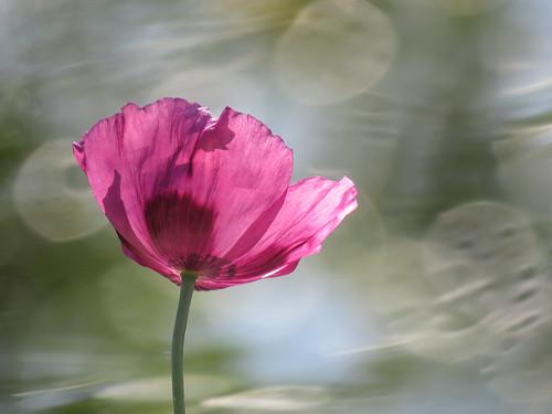 02 Poppy near the pond