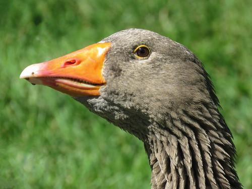 01 Domestic Goose female, Akesi Farms