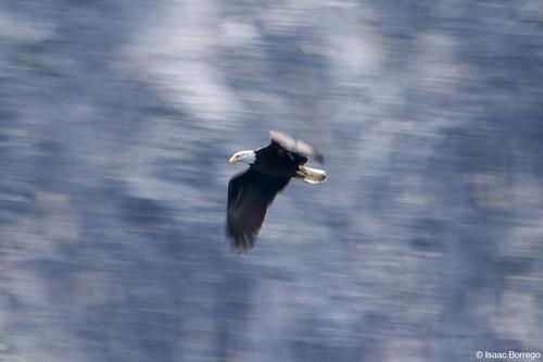 Bald Eagle in Motion