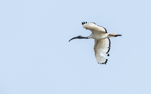 Sacred ibis - Threskiornis aethiopicus - Heilige ibis