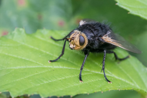 The Giant Tachinid Fly