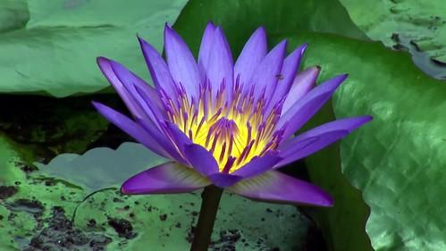 Malaysia - Kuala Lumpur - National Orchid Garden - Blue Lotus - 6