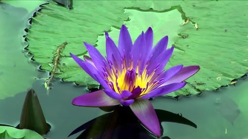 Malaysia - Kuala Lumpur - National Orchid Garden - Blue Lotus - 8