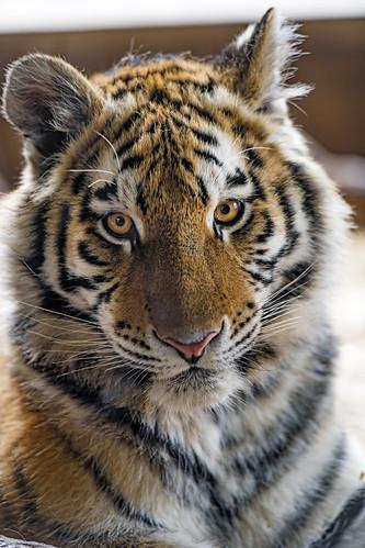 Young tigress looking at me