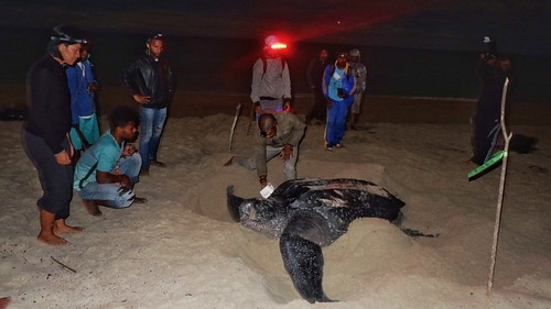 Conservation Team with nesting leatherback