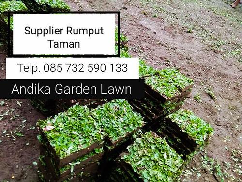 Penjual Rumput Gajah Mini Surabaya, 0857-3259-0133, -ANDIKA GARDEN LAWN