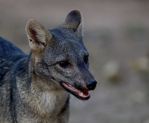 Crab-eating Fox (Cerdocyon thous) near the road