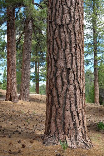 Gentle Pines