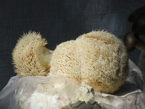 Edible Lion's Mane mushrooms / Hericium erinaceus, Akesi Farms