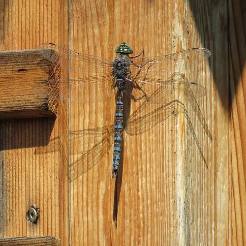 05 Darner dragonfly, Akesi Farms