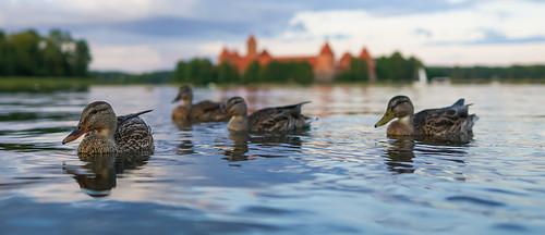 Ducks of Trakai - Lithuania
