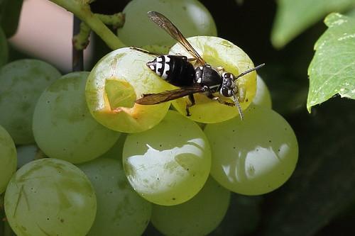 Bald-faced Hornet on Himrod Grapes