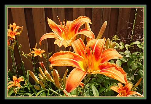 Day Lily Friday - HFF