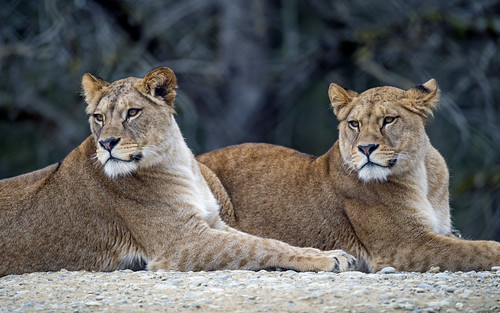 Two lionesses together
