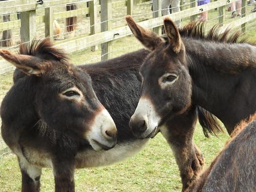 Donkeys Spencer & Wesley are best friends