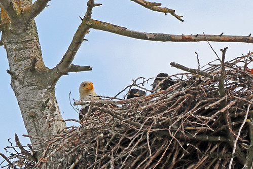 Bald Eagle With Three Baby Beaks In Nest 18-0602-2217