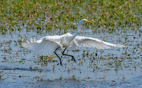 DSC3314  Great White Egret....