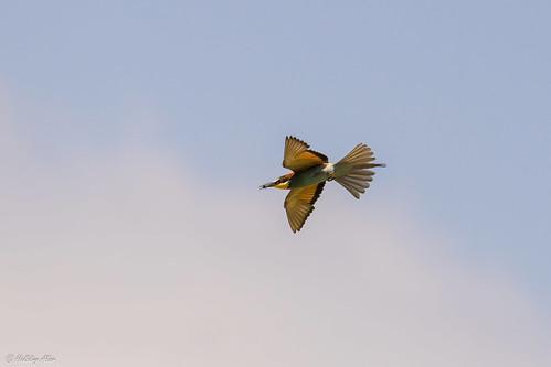Le Guêpier d'Europe (Merops apiaster) - European Bee-eater