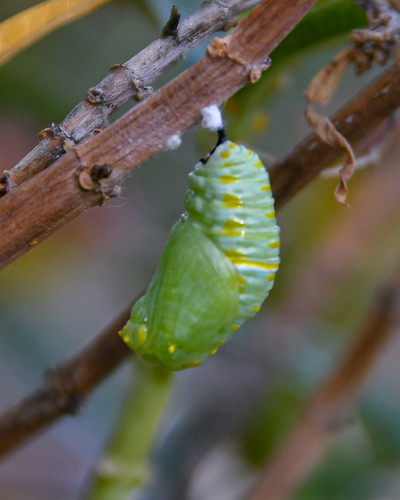 Forming a Chrysalis