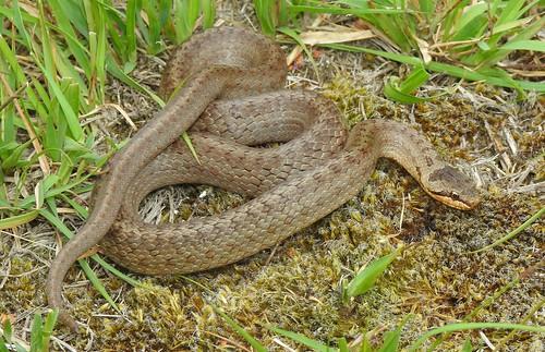 Smooth Snake (Coronella austriaca)