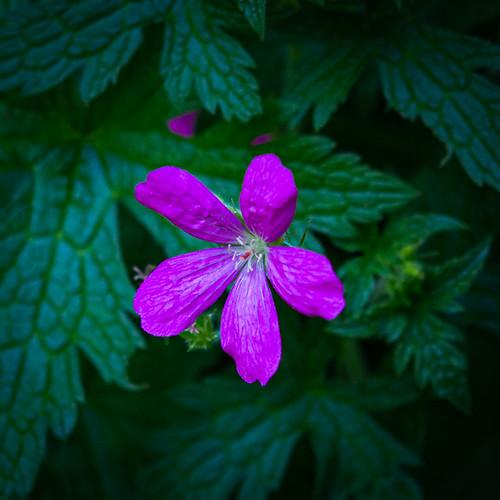 Day 237-19 magenta flower