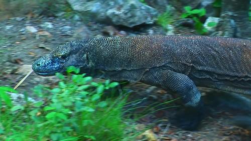 Indonesia - Rinca Island - Komodo National Park - Komodo Dragon - 59