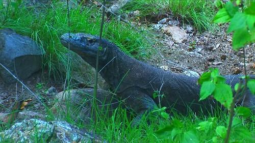 Indonesia - Rinca Island - Komodo National Park - Komodo Dragon - 57