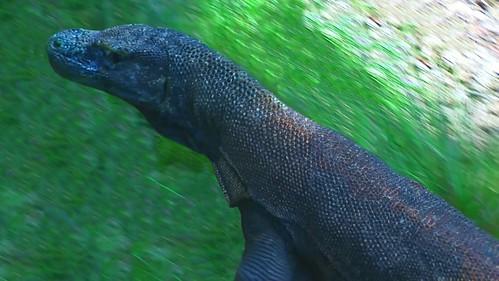 Indonesia - Rinca Island - Komodo National Park - Komodo Dragon - 56