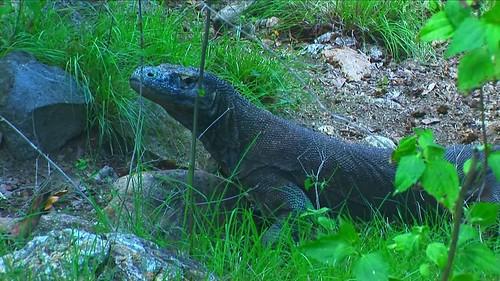 Indonesia - Rinca Island - Komodo National Park - Komodo Dragon - 62