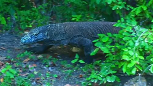 Indonesia - Rinca Island - Komodo National Park - Komodo Dragon - 60
