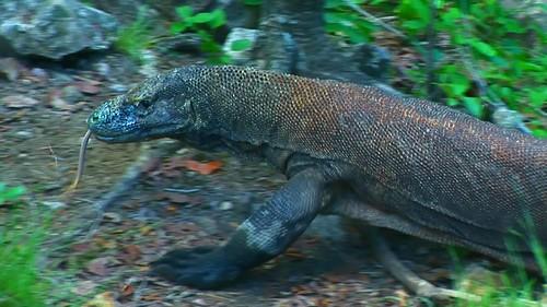 Indonesia - Rinca Island - Komodo National Park - Komodo Dragon - 58