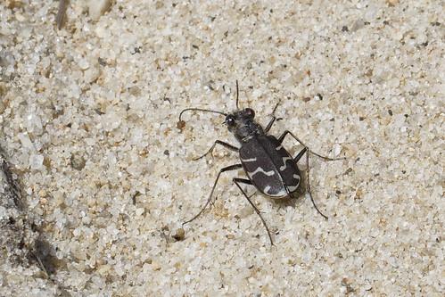 Oblique Lined Tiger Beetle
