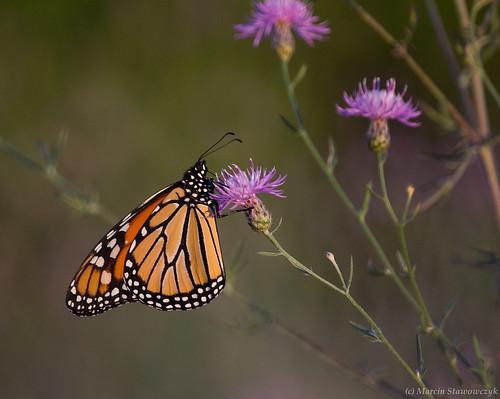 Sunset monarch